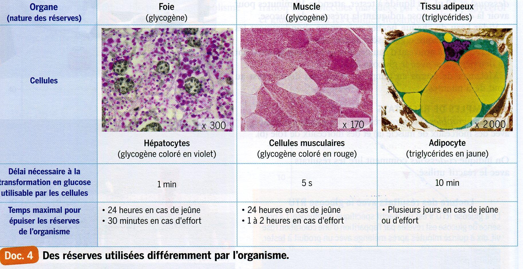 Réserves de glucides