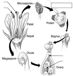 Cycle reproduction angiosperme