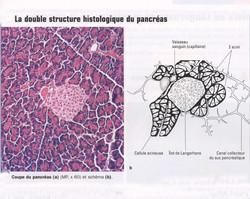 Pancréas en coupe