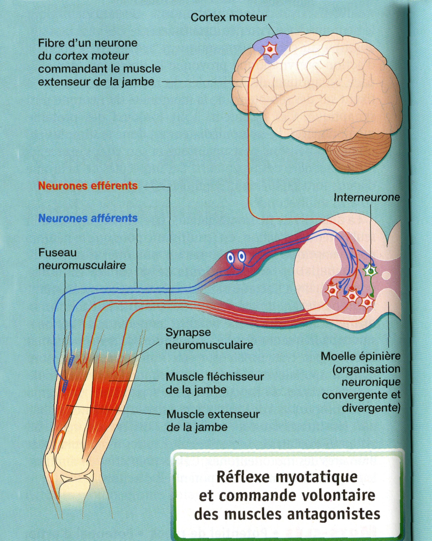 Réflexe myotatique et cerveau