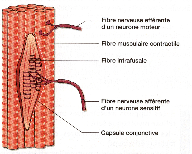 Jonction nerfs muscle