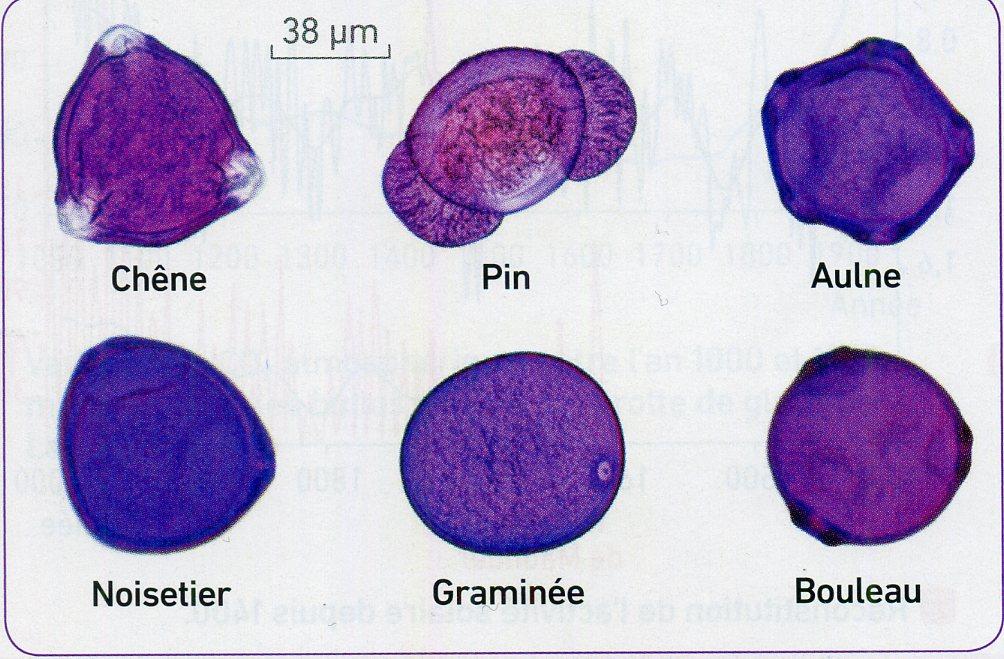 Pollens identification