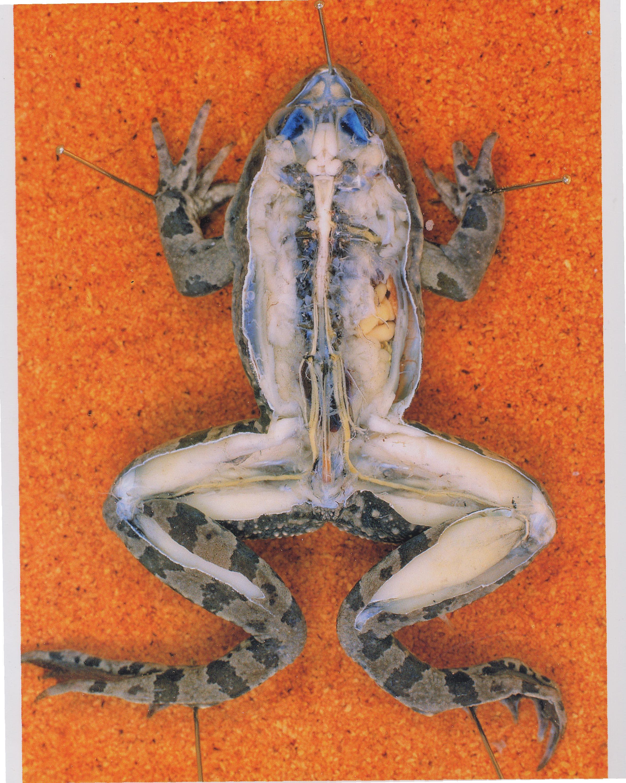 système nerveux grenouille