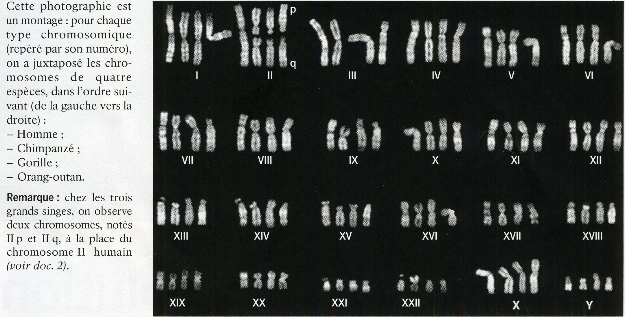 Comparaison caryotypes