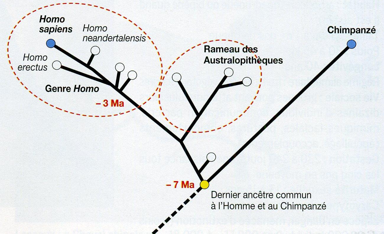 Arbre phylogénétique Homo