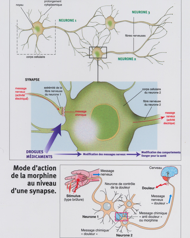 Synapse drogue médicament morphine