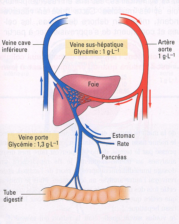 Liaison foie intestin