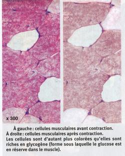muscle et glycogène