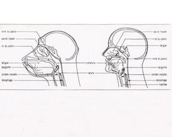 Larynx Pharynx comparaison homme singe