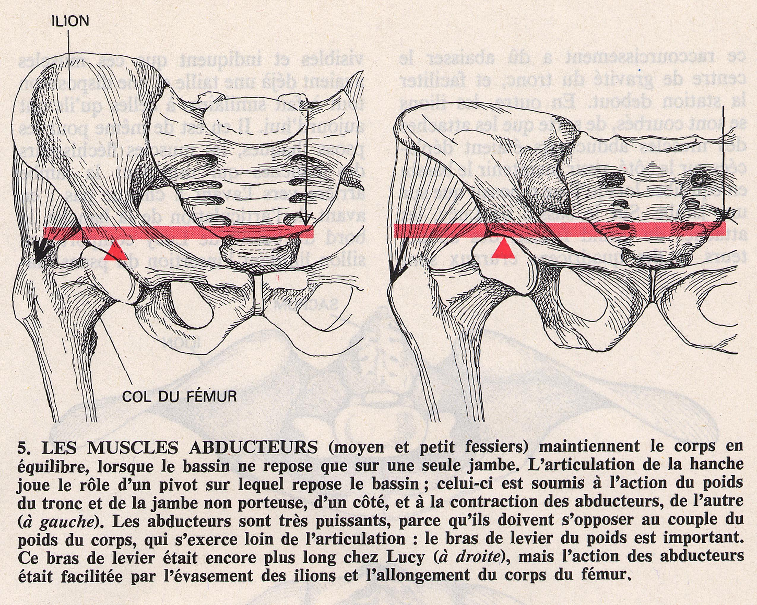 Bipédie col du fémur muscle