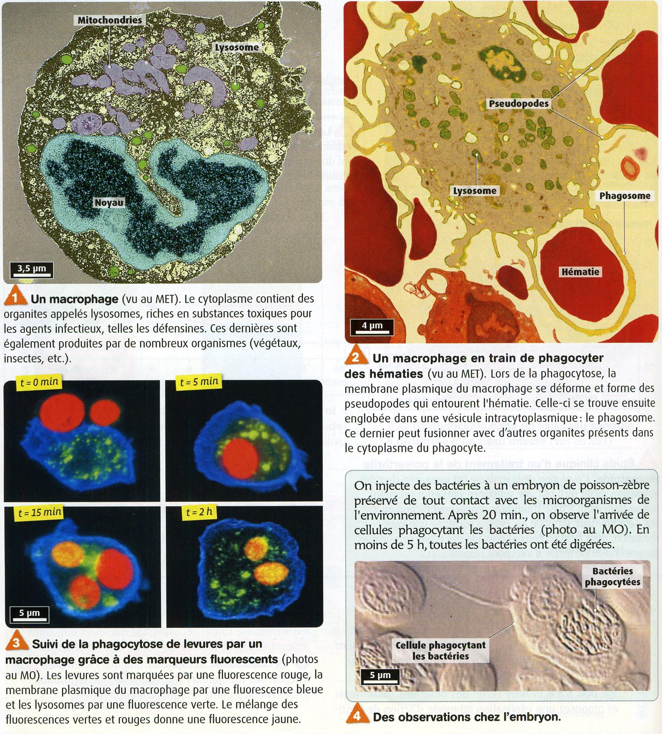 Phagocytose bis