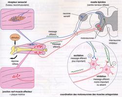 Réflexe myotatique schéma