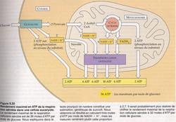 Respiration production 36 ATP_1