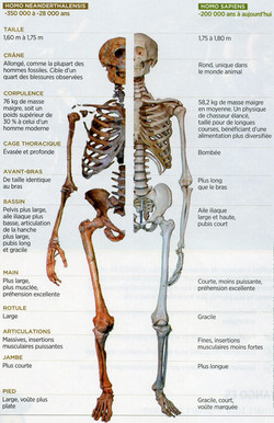 Néenderthal Homo sapiens anatomie