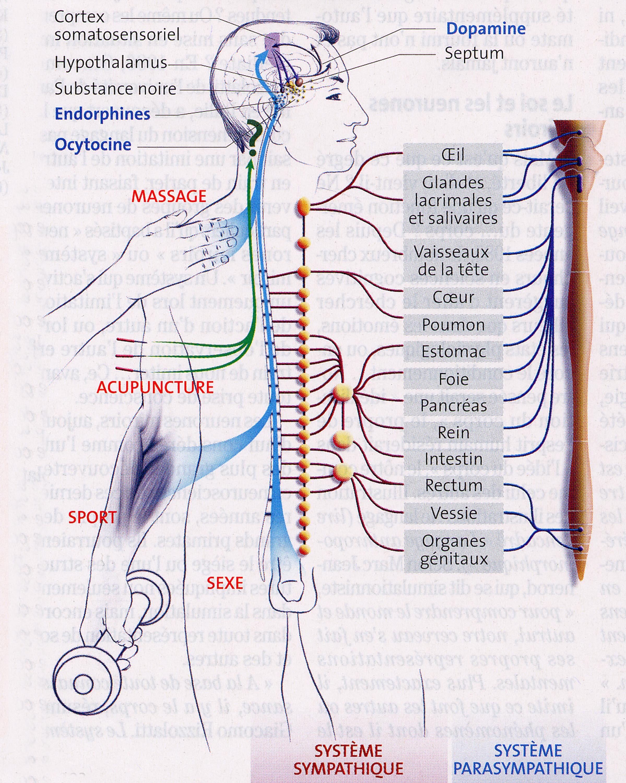 Système sympathique parasympathique