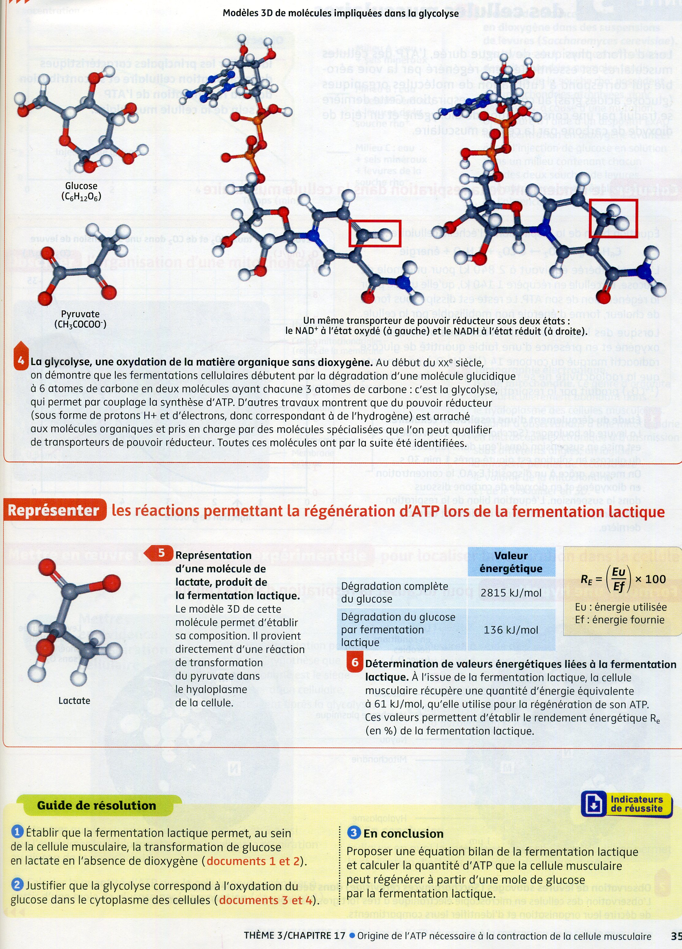 Activité 4 fermentation muscle (2)