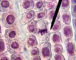 Mitose Oignon
