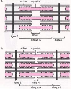 Actine myosine