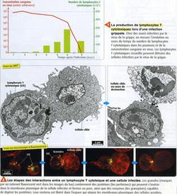 Lymphocyte T cytotoxique
