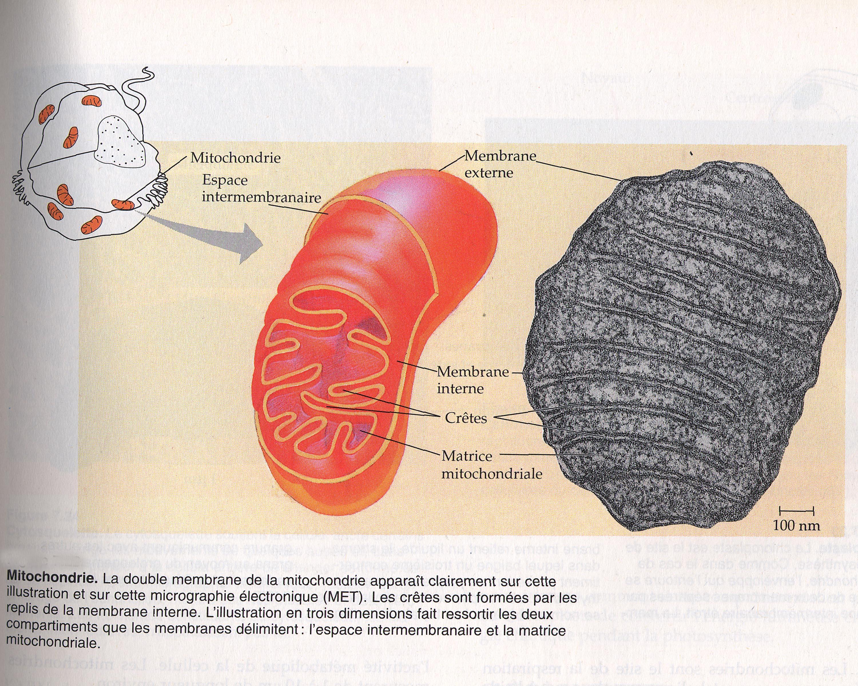 Mitochondrie 2