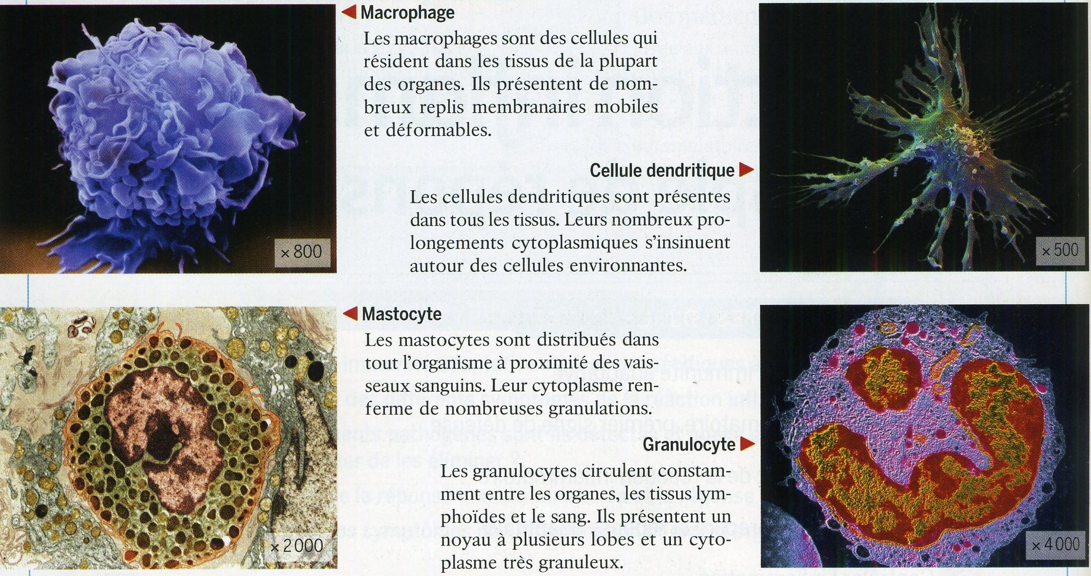 Macrophage Mastocyte Granulocyte
