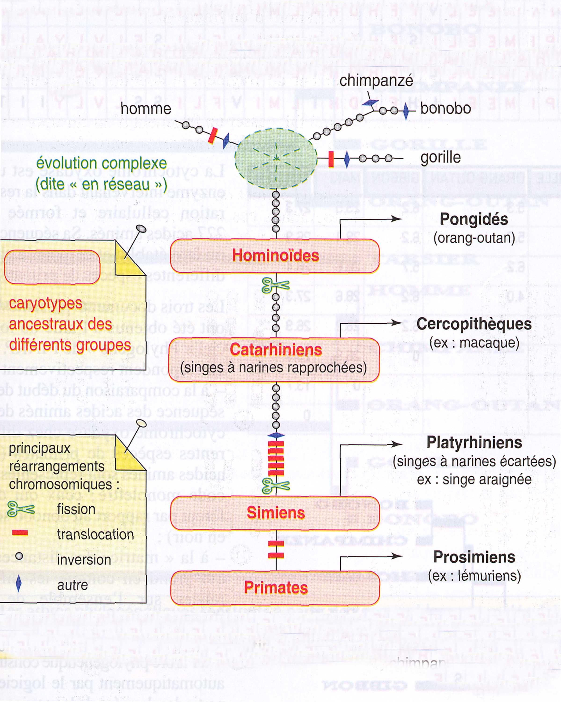 Phylogénie primates et chromosomes