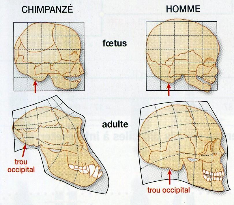 Comparaison crane Homme Chimpanzé