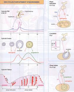Hormones_et_cycles_synchronisés