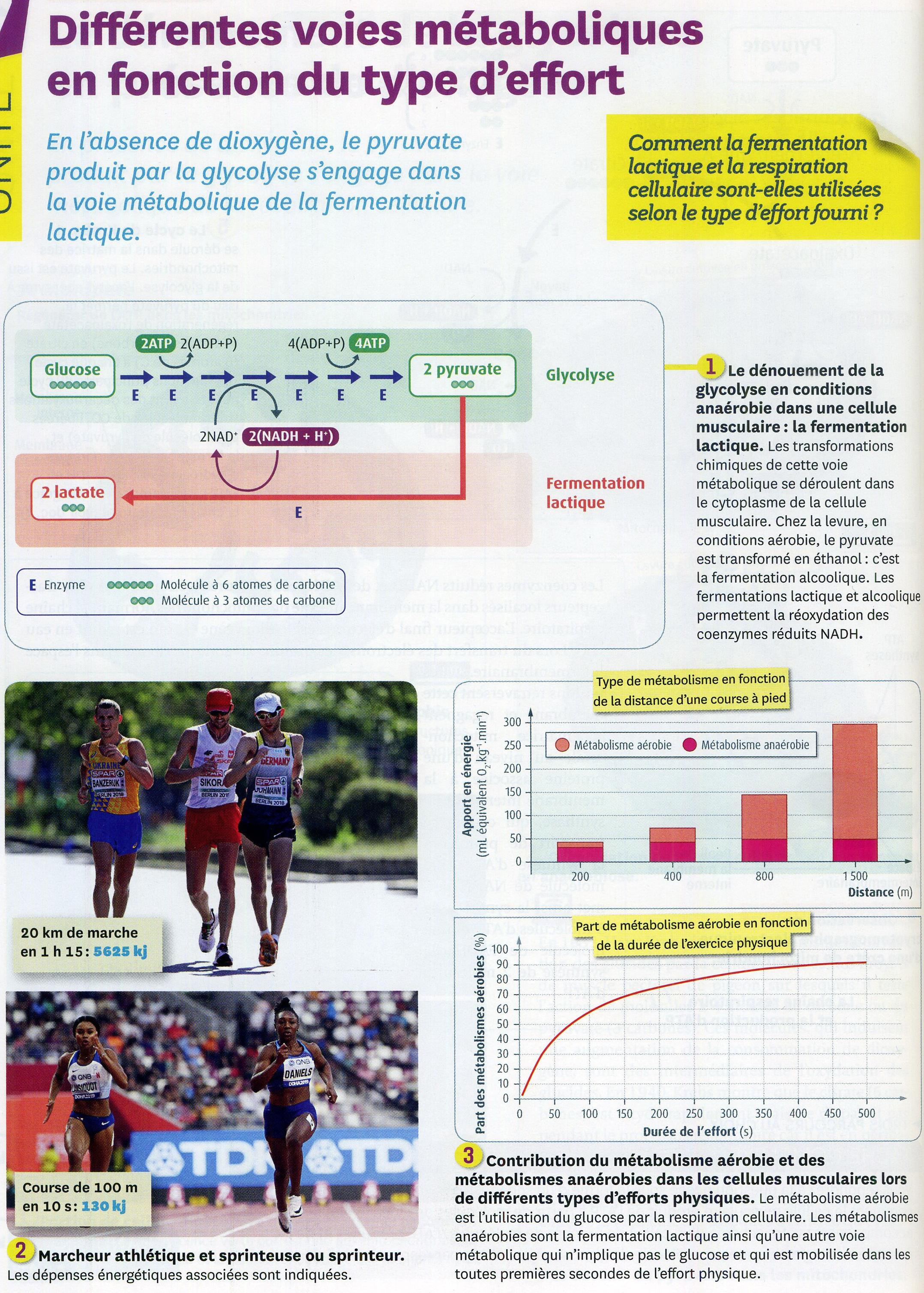 Activité 2 Effort voie métabolique  (1).