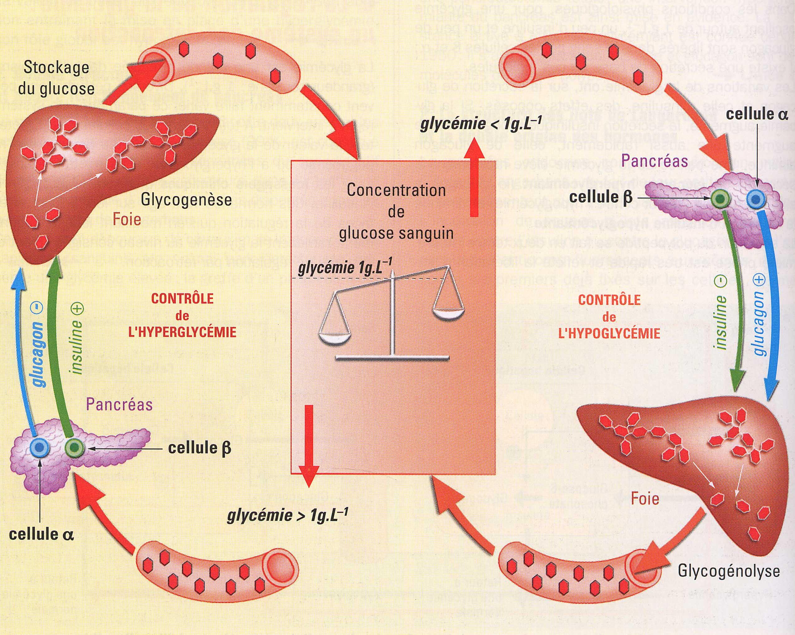 Cellules alpha et béta