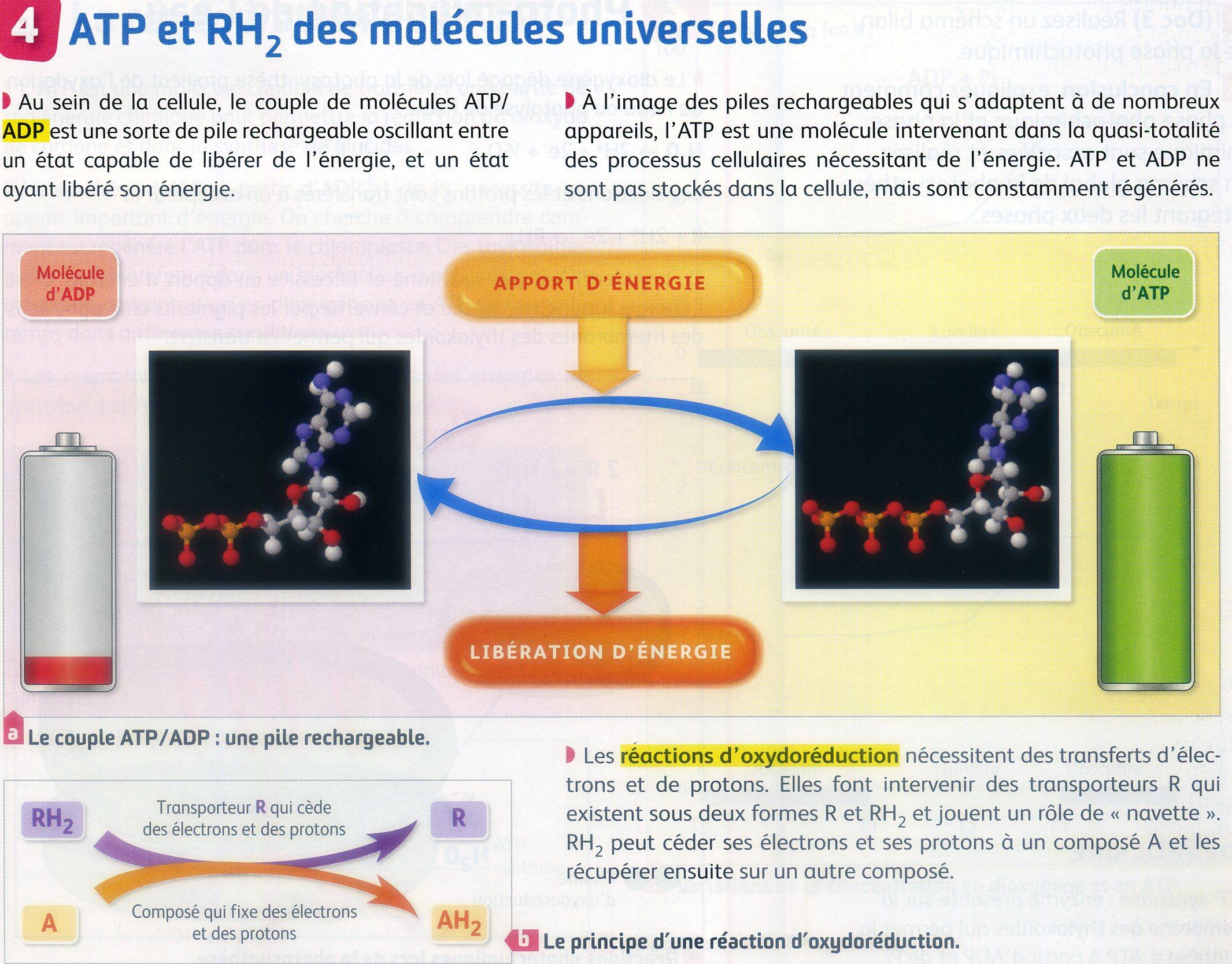 Oxydo réduction et formation ATP