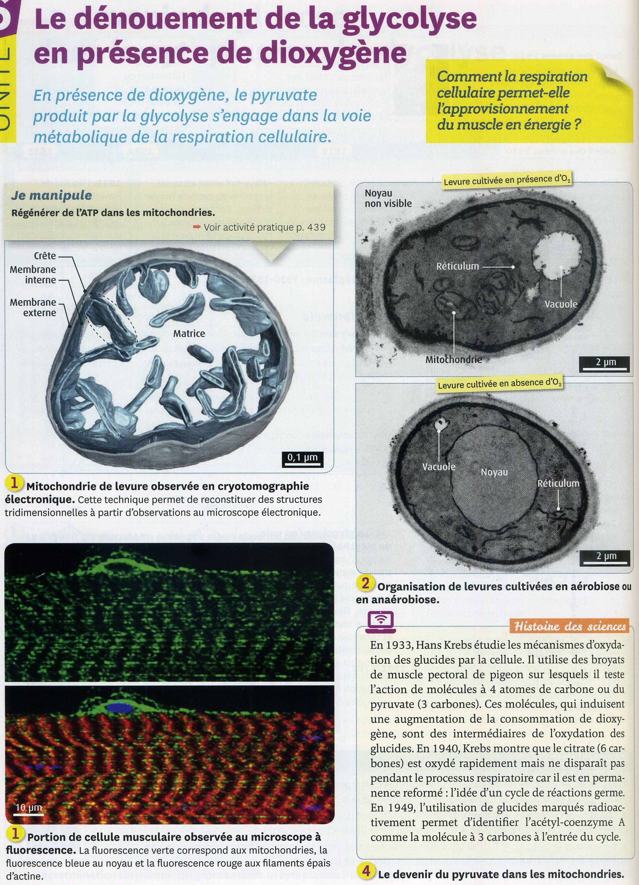 Activité 1 muscle ATP production (1)