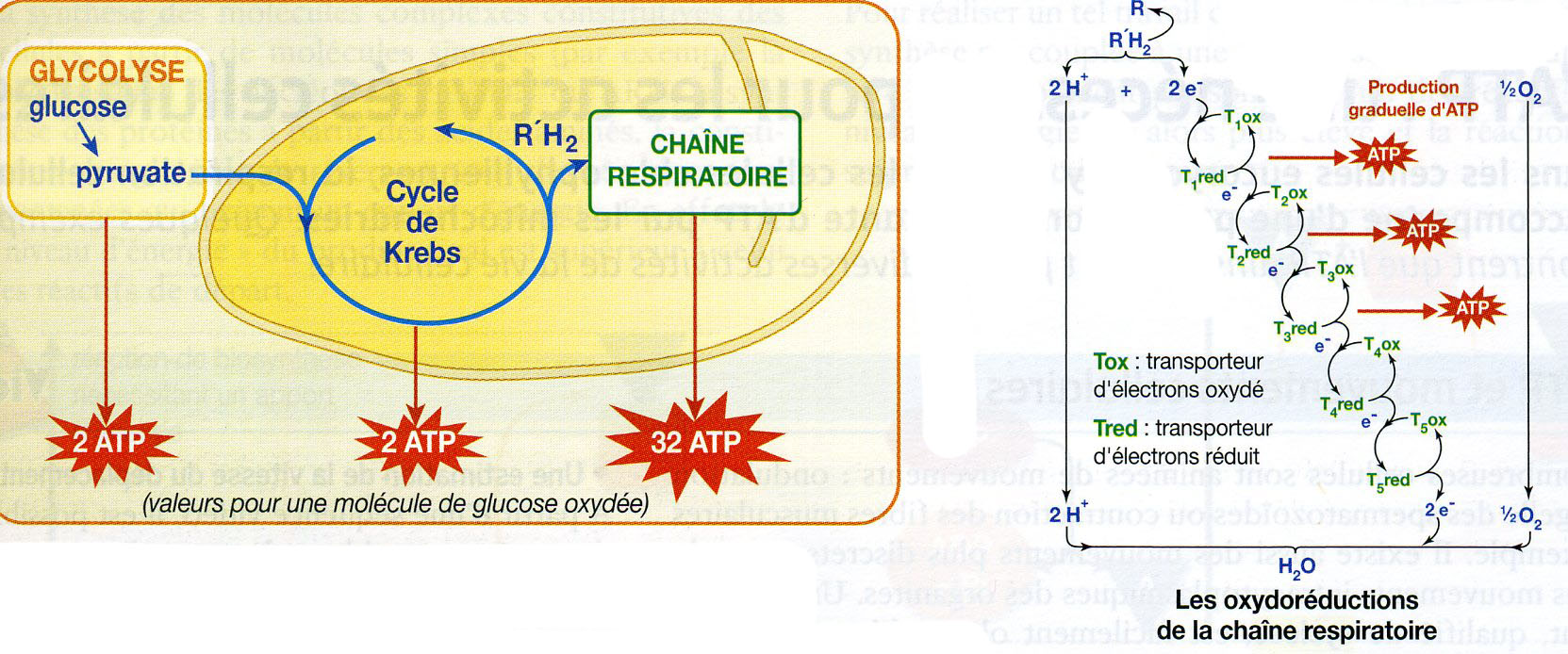 Mitochondrie oxydo réduction 2