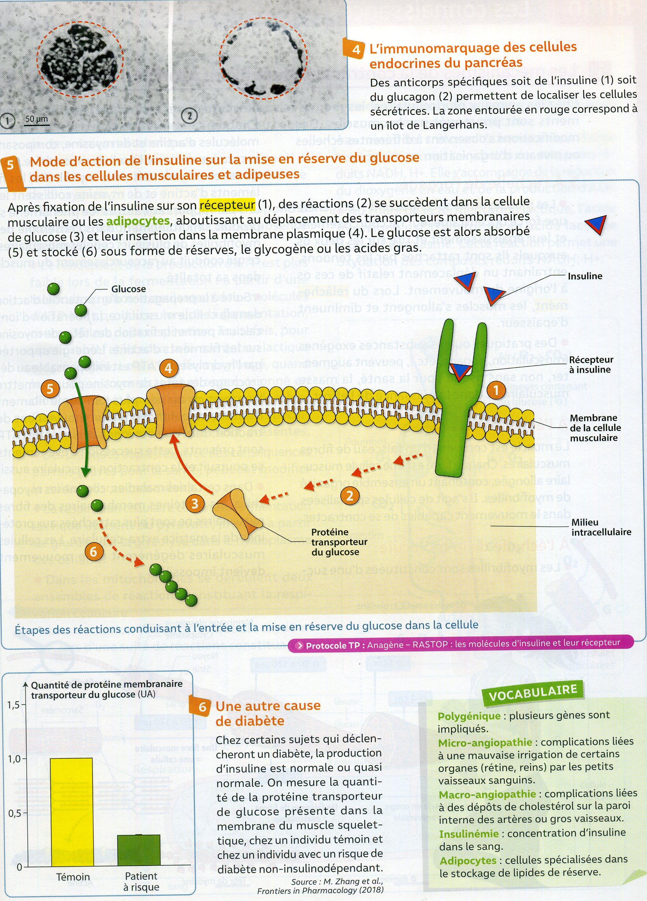 Activité 4 diabète 2 types (2)