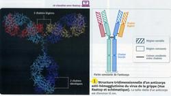Anticorps IG