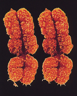 Chromosomes XX