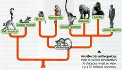 Anthropoides ancètres