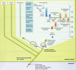 Bilan phylogénie primates