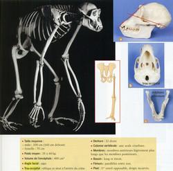 Anatomie du chimpanzé