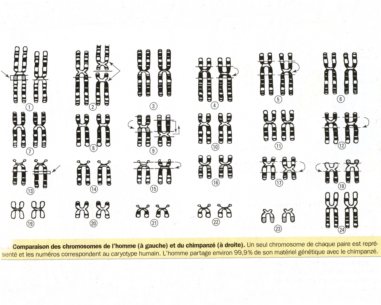Comparaison chromosomes homme singe