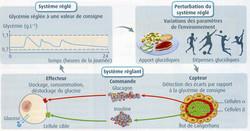 Homéostat glycémique