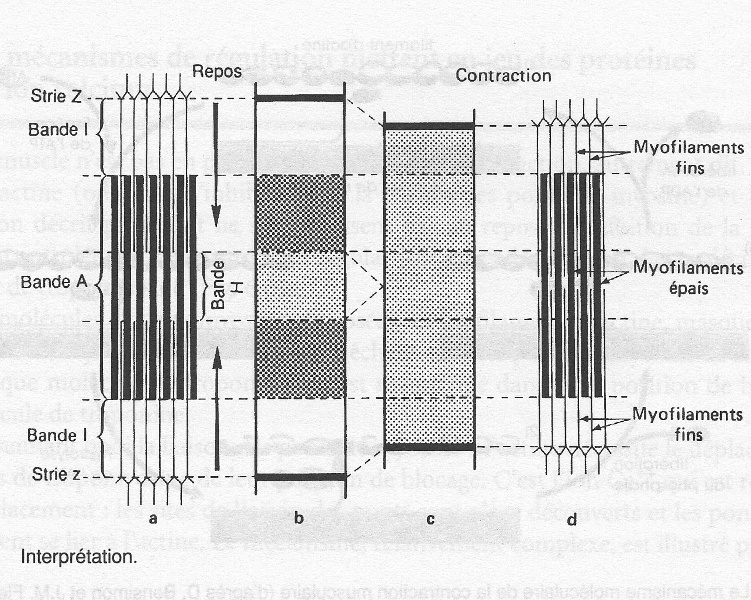 Muscle myofibrilles et contraction