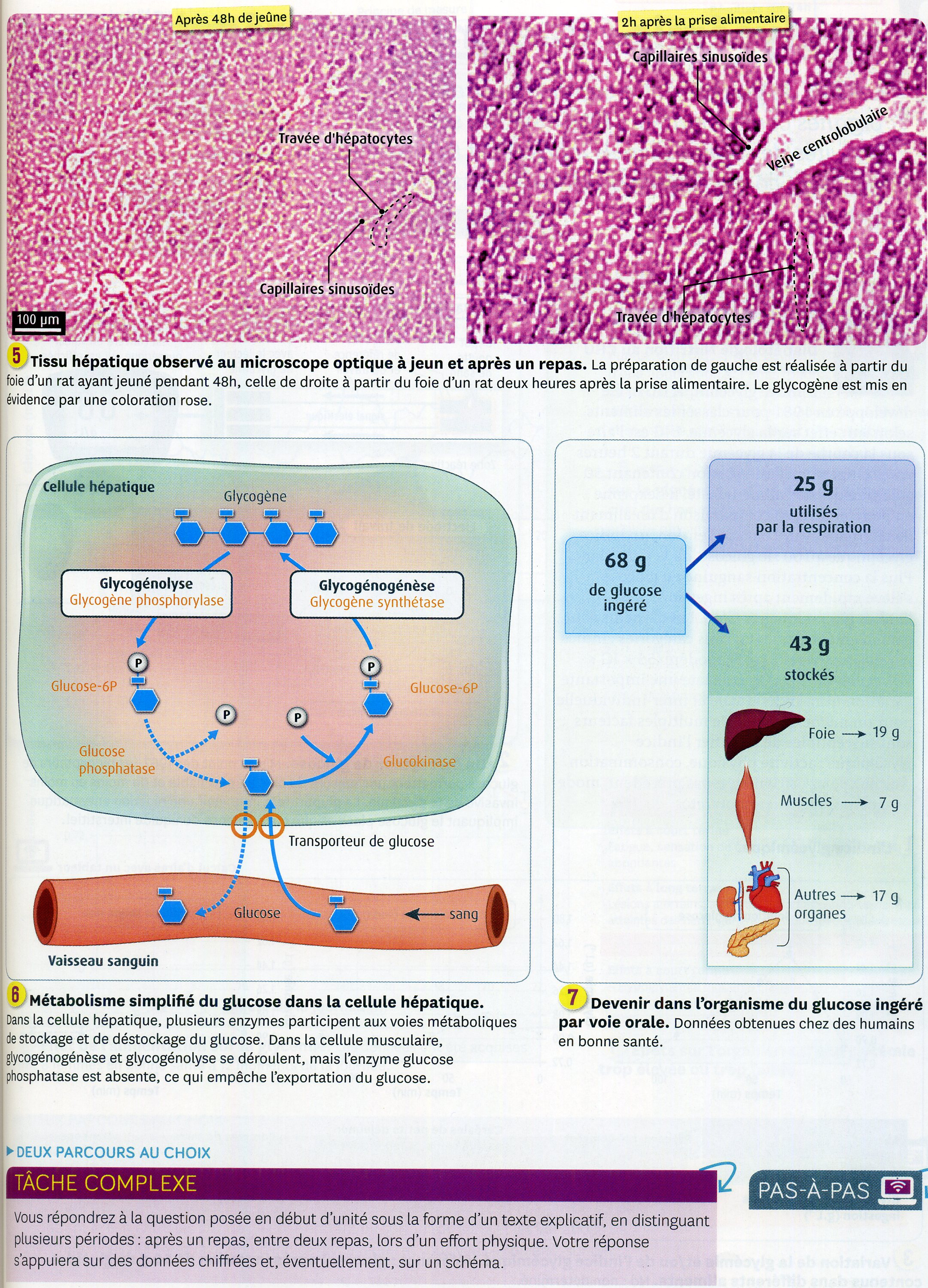 Activité 3 origine du glucose (2)