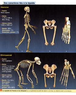 Comparaison anatomique homme singe