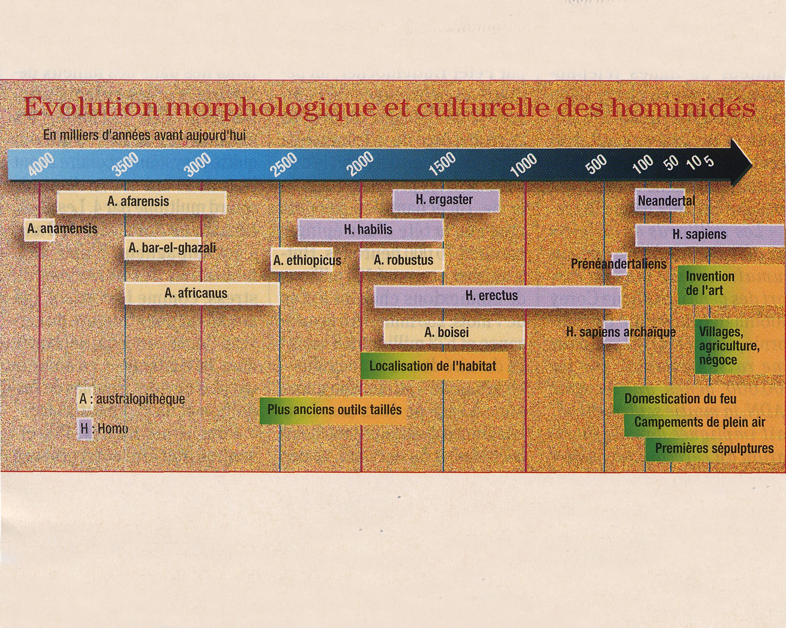 hominidés évolution culturelle morpholog