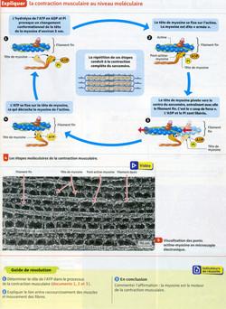Activité 6 mécanismes contraction (2)