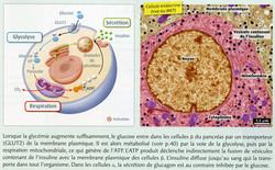 Effet glucose sur cellule béta
