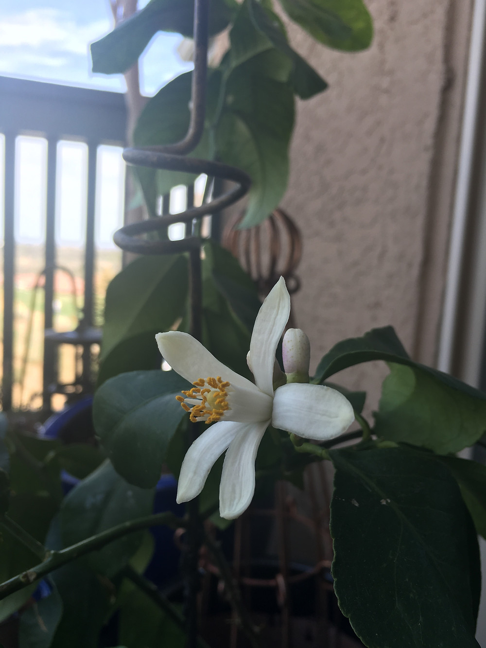 Citrus blossoms making an appearance on Earth Day