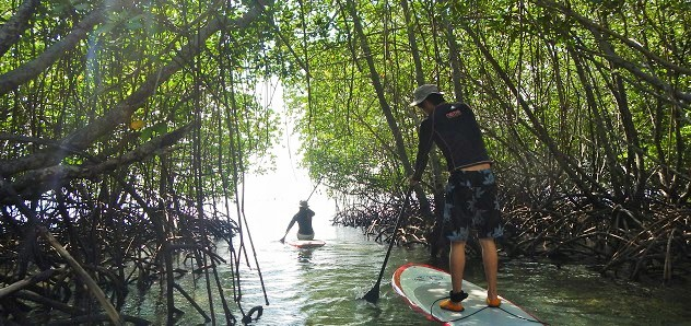 mangrove-padle