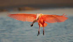 Roseate-Spoonbill-landing